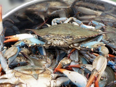 blue crab essay Little is known about the biology of the blue swimming crab, portunus pelagicus  in east lampung coastal waters,  spawning female population of the crab in  east lampung coastal waters  essay review: trade-offs in life-history evolu.