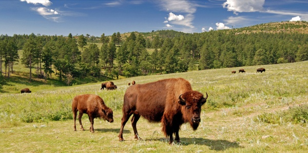 Adult_bison_and_calf,_Custer_State_Park,_South_Dakota_(2009-08-25)