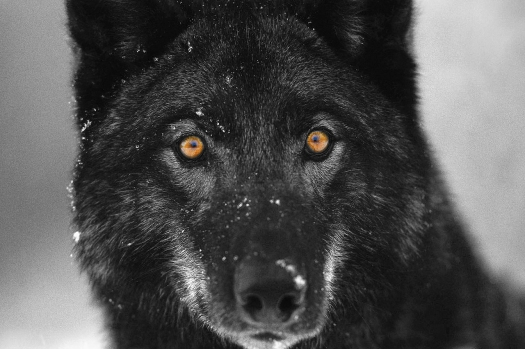 P.S. For the record, I think wolves are the most beautiful animals on Earth.