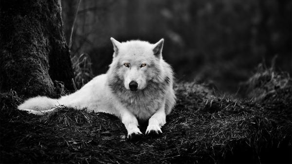 white-wolf-a