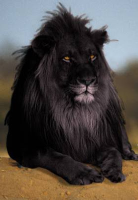 photoshopped+black+lion